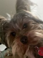 Yorkshire Terrier Puppies for sale in Shawnee, KS 66214, USA. price: NA