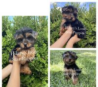 Yorkshire Terrier Puppies for sale in League City, TX, USA. price: NA