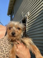 Yorkshire Terrier Puppies for sale in Bothell, WA, USA. price: NA