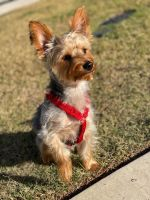 Yorkshire Terrier Puppies for sale in 6364 Wellington Dr, Covington, GA 30014, USA. price: NA