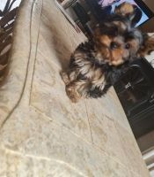 Yorkshire Terrier Puppies for sale in Blairsville, PA 15717, USA. price: NA