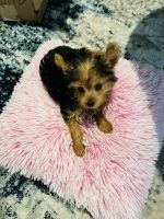 Yorkshire Terrier Puppies for sale in Romeoville, IL, USA. price: NA