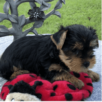 Yorkshire Terrier Puppies for sale in Ashburn, VA, USA. price: NA