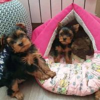 Yorkshire Terrier Puppies for sale in Denver, CO, USA. price: NA