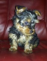 Yorkshire Terrier Puppies for sale in Austin, TX, USA. price: NA