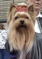 Yorkshire Terrier Puppies for sale in Torrance, CA, USA. price: NA