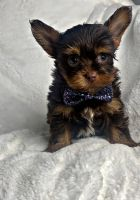 Yorkshire Terrier Puppies for sale in Locust Grove, GA, USA. price: NA