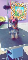 Yorkshire Terrier Puppies for sale in Berrien Springs, MI 49103, USA. price: NA