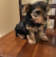 Yorkshire Terrier Puppies for sale in Egg Harbor City, NJ 08215, USA. price: NA