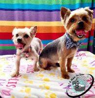 Yorkshire Terrier Puppies for sale in 3409 El Cortez Ave, Las Vegas, NV 89102, USA. price: NA