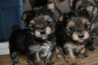 Yorkshire Terrier Puppies for sale in Dallas, GA, USA. price: NA