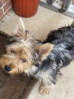 Yorkshire Terrier Puppies for sale in Russellville, AL, USA. price: NA