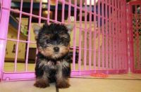 Yorkshire Terrier Puppies for sale in Tulsa, OK, USA. price: NA