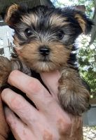 Yorkshire Terrier Puppies for sale in 5892 TX-27, Center Point, TX 78010, USA. price: NA