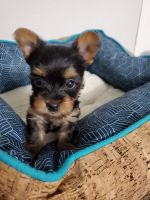Yorkshire Terrier Puppies for sale in Kalamazoo, MI, USA. price: NA