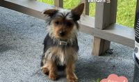 Yorkshire Terrier Puppies for sale in Beaver Falls, PA 15010, USA. price: NA