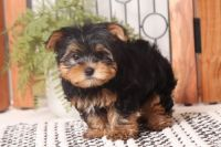 Yorkshire Terrier Puppies for sale in Miami Beach, FL, USA. price: NA
