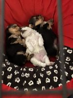 Yorkshire Terrier Puppies for sale in Prosper, TX 75078, USA. price: NA