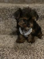 Yorkshire Terrier Puppies for sale in Coral Springs, FL, USA. price: NA