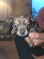Yorkshire Terrier Puppies for sale in Edison, NJ, USA. price: NA