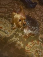 Yorkshire Terrier Puppies for sale in Raleigh, NC, USA. price: NA