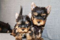 Yorkshire Terrier Puppies for sale in PECK SLIP, NY 10038, USA. price: NA