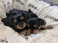 Yorkshire Terrier Puppies for sale in 630 Branch St, Holts Summit, MO 65043, USA. price: NA