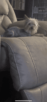 Yorkshire Terrier Puppies for sale in Dalton, GA, USA. price: NA