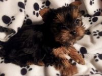 Yorkshire Terrier Puppies for sale in Pensacola, FL, USA. price: NA