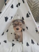 Yorkshire Terrier Puppies for sale in Portland, OR 97202, USA. price: NA
