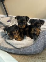 Yorkshire Terrier Puppies for sale in Hudson, MA, USA. price: NA