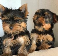 Yorkshire Terrier Puppies for sale in Michigan Ave, West Bloomfield Township, MI 48324, USA. price: NA