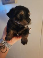 Yorkshire Terrier Puppies for sale in North Little Rock, AR 72117, USA. price: NA