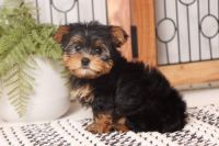 Yorkshire Terrier Puppies for sale in Miami Gardens, FL, USA. price: NA