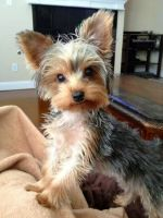 Yorkshire Terrier Puppies for sale in Davenport, FL, USA. price: NA