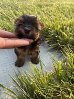 Yorkshire Terrier Puppies for sale in Columbus, OH, USA. price: NA