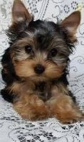 Yorkshire Terrier Puppies for sale in Lawton, OK, USA. price: NA