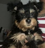 Yorkshire Terrier Puppies for sale in Lithia Springs, GA 30122, USA. price: NA
