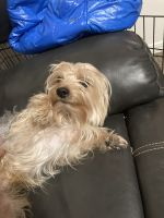 Yorkshire Terrier Puppies for sale in Rock Springs, WY 82901, USA. price: NA