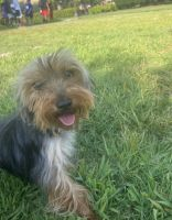 Yorkshire Terrier Puppies for sale in Eastvale, CA, USA. price: NA