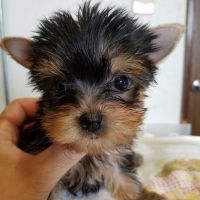 Yorkshire Terrier Puppies for sale in Colorado Springs, CO, USA. price: NA