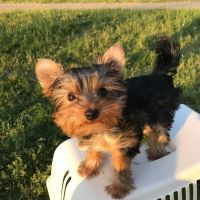 Yorkshire Terrier Puppies for sale in New York, NY 10014, USA. price: NA