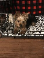 Yorkshire Terrier Puppies for sale in Yuma, AZ, USA. price: NA