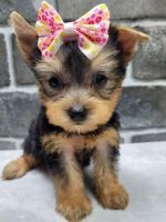 Yorkshire Terrier Puppies for sale in Redmond, OR 97756, USA. price: NA