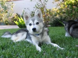 Alaskan Klee Kai puppies for new home
