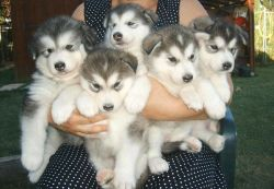 Outstanding alaskan malamute puppies Ready,