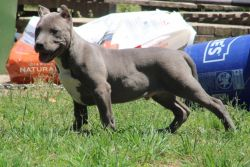 Handsome ABKC registered male available