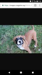 Boxer Mastiff mix