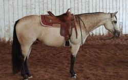 2012 AQHA/ABRA/IBHA Buckskin mare