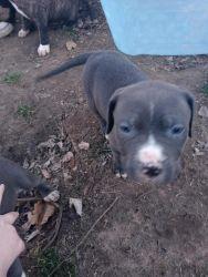 Blue Colby Pitbulls